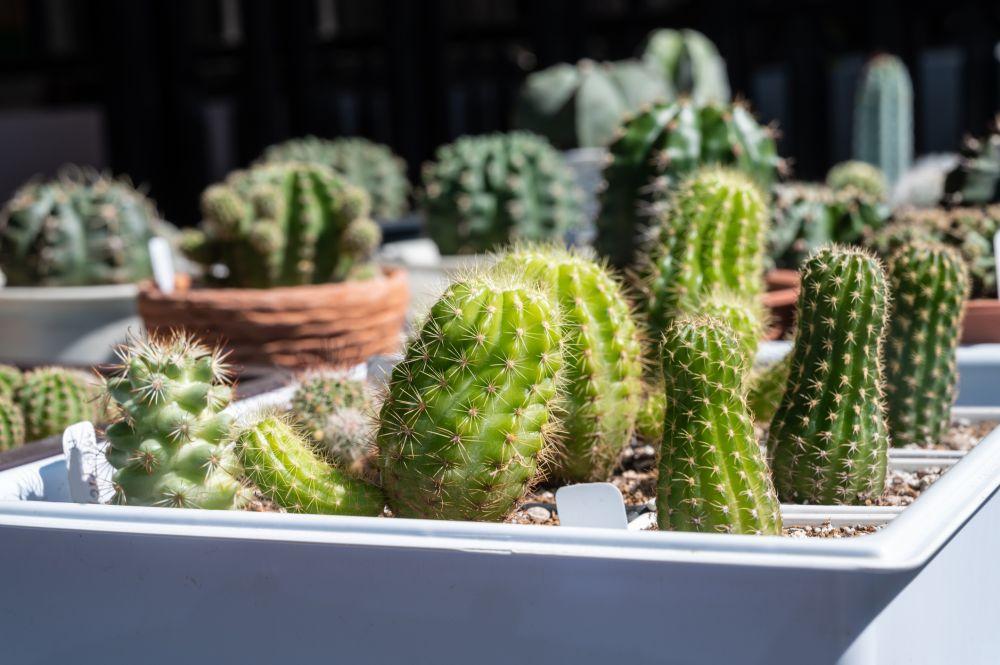 Succulentes étiolées (1)
