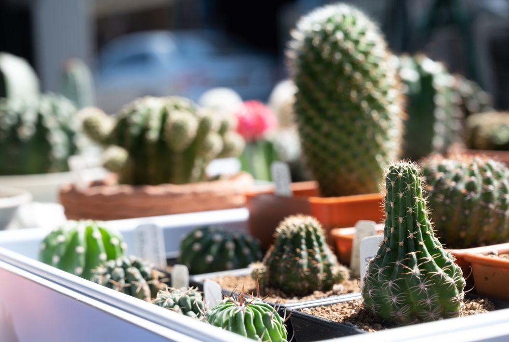 Succulentes étiolées (3)