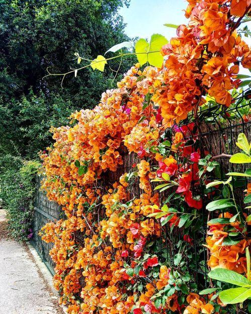 Lianes oranges