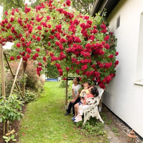 Buissons de roses