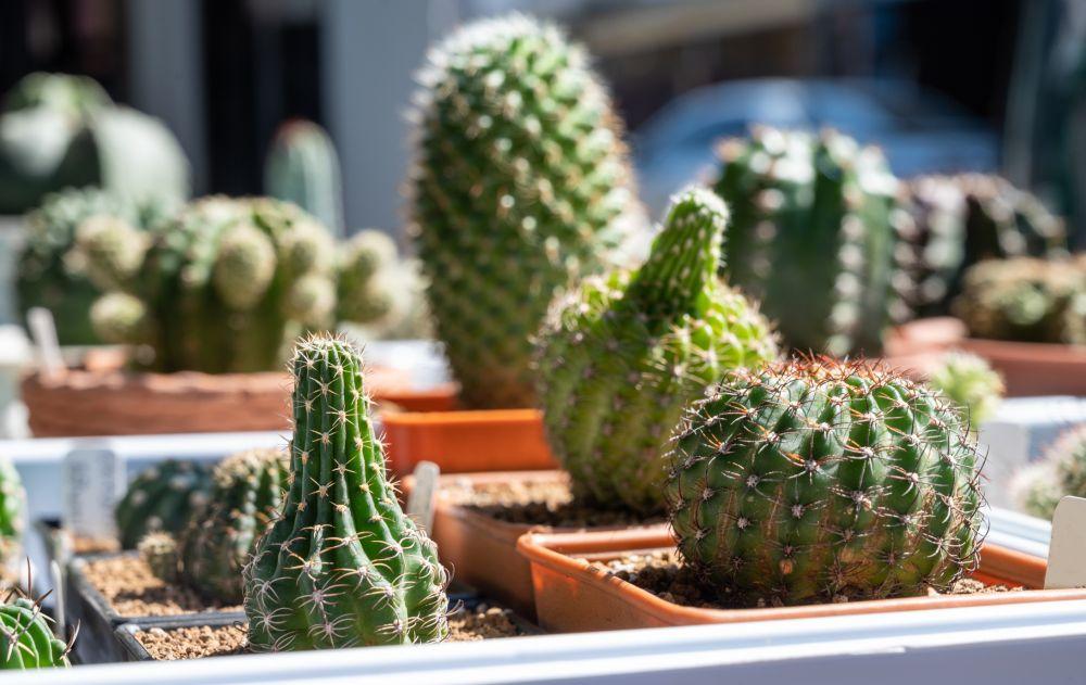 Succulentes étiolées (2)