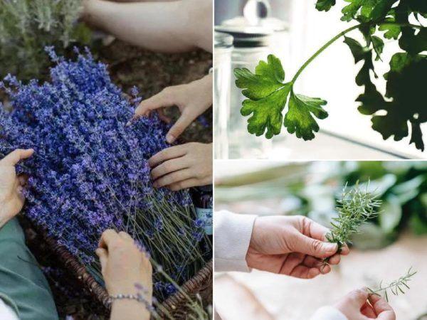 Herbes et plantes aromatiques et médicinales pour la maison