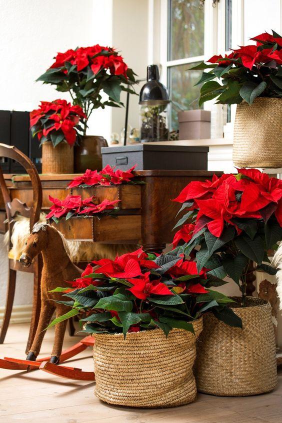 Décoration de Noël avec des poinsettias